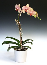Phalaenopsis Orchid Arrangement - Sunrise Yellow