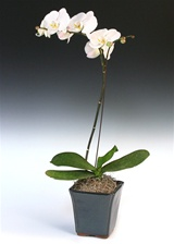 White Phalaenopsis - Blue Ceramic