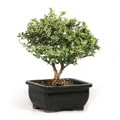 bonsai-tree-black-and-white