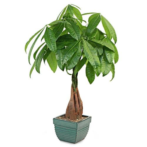 Braided money tree green stylized pot