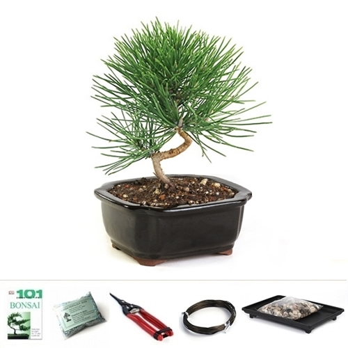 Black Pine Bonsai Tree