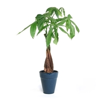 Medium Braided Money Tree - Blue Traditional