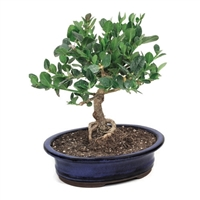 Bonsai - Natal Plum Bonsai Tree