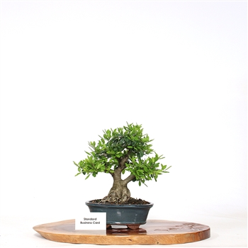 Yaupon Holly Bonsai