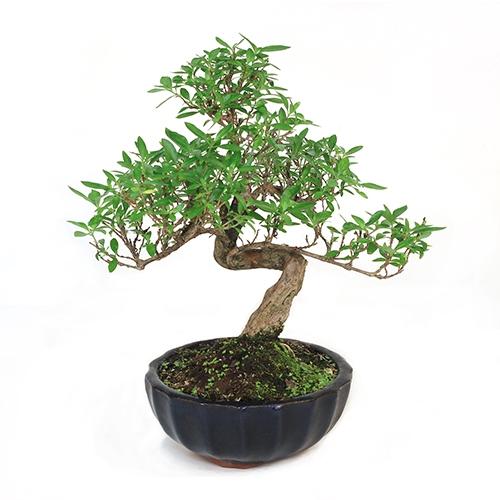 Exhibition Stand Essentials : Serissa japonica thousand stars white bonsai tree