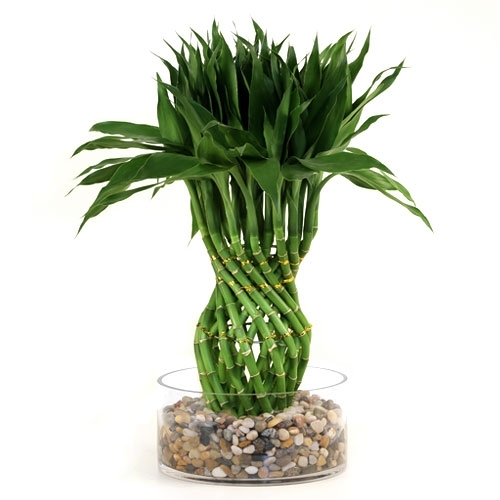 lucky bamboo arrangement modern pineapple braided lucky. Black Bedroom Furniture Sets. Home Design Ideas