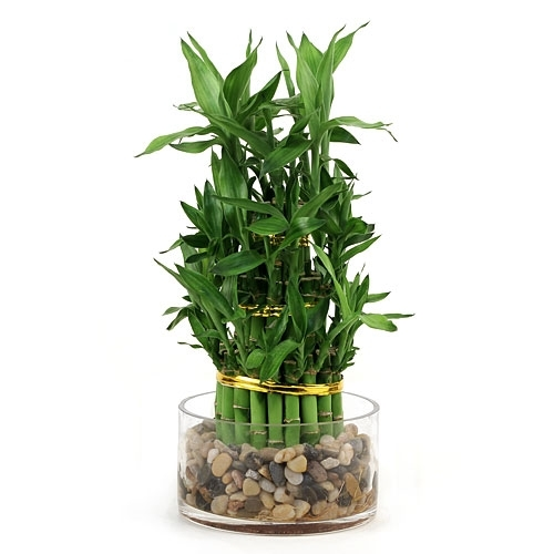 how to take care of lucky bamboo in rocks