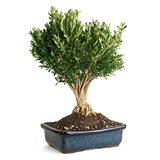 Bonsai - Korean Boxwood Bonsai Tree