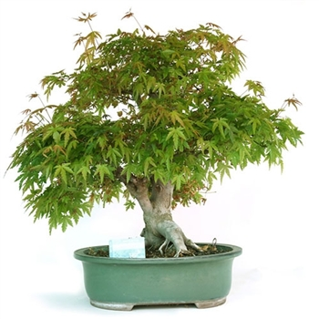 Grand Chinese Elm Bonsai Tree
