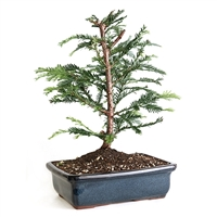 Large Coastal Redwood Bonsai Tree