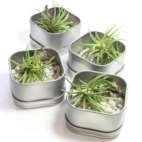 Garden Bush: Zen Garden Air Plant Favor Tin