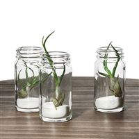 Air Plant Favor - Bulbosa Glass