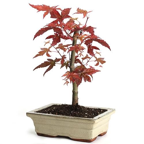 Japanese Red Maple Bonsai Tree