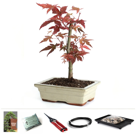 Japanese Red Maple Starter Kit