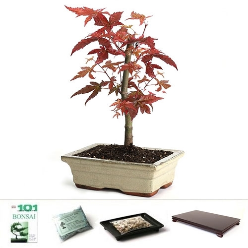 Japanese Red Maple Gift Set