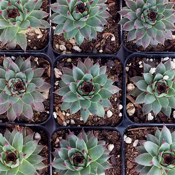 Succulent Rosette - Set of 10
