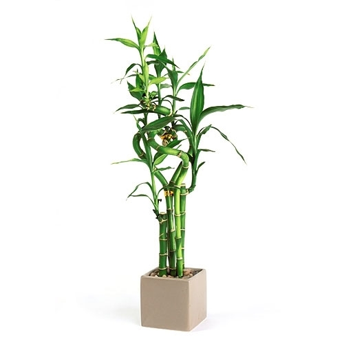 Lucky Bamboo Arrangement -  Spiral Heart Cube Arrangement