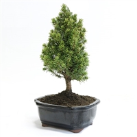Miniature Spruce Bonsai
