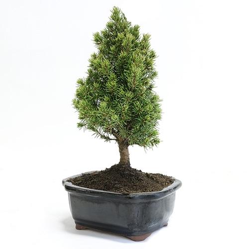 Miniature Spruce Bonsai