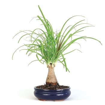 Bonsai - Ponytail Palm Bonsai Tree
