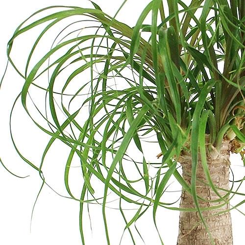 Bonsai Ponytail Palm Bonsai Tree From Easternleaf Com