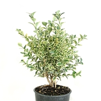 Variegated English Boxwood