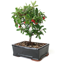 Bonsai - Large Pyracantha Bonsai Tree <!-- Bonsai -->