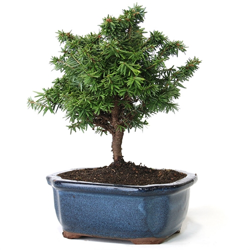 Hemlock Bonsai