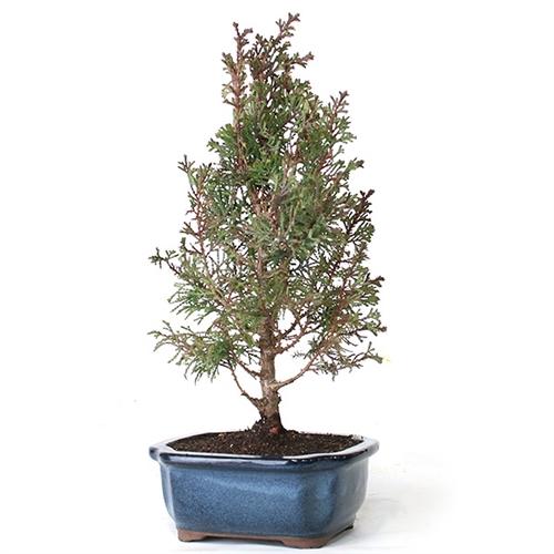 white cedar bonsai