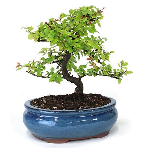 Chinese Sweet Plum Bonsai Tree Sageretia Theezan