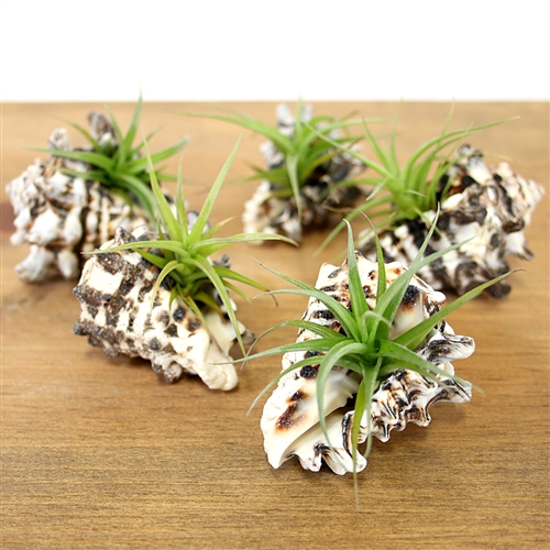 Vase Shell Air Plant Favor