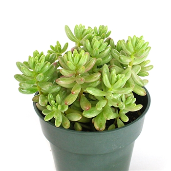 Succulent - Jelly Bean Plant
