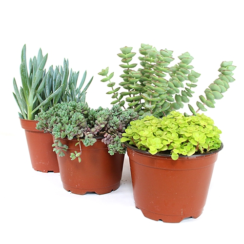 Succulent Assortment - Ground Covers