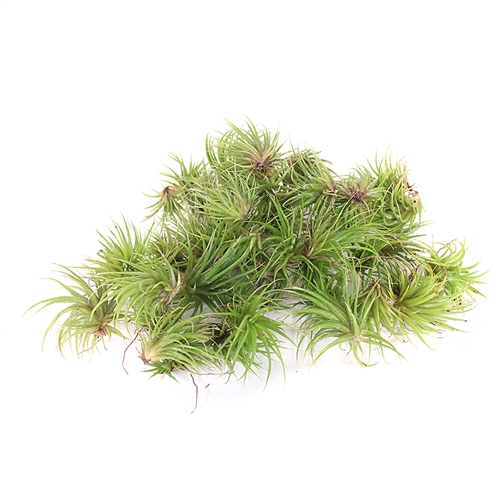 Pack of 50 Ionantha