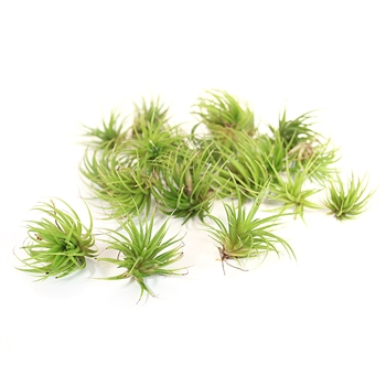 Pack of 20 Ionantha
