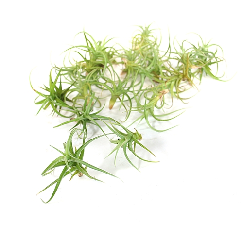Pack of 20 Air Plants