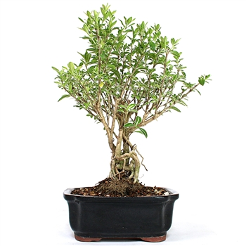 Serissa Japonica - Variegated Thousand Stars White Bonsai Tree