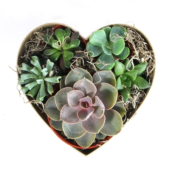 Heart Succulent Gift Box