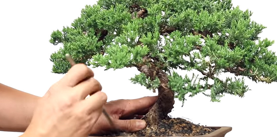 2 Bonsai Repotting Mistakes To Avoid
