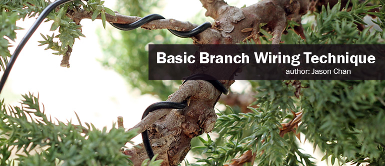 how to wire your bonsai tree trunk rh easternleaf com Juniper Bonsai Before and After Chinese Juniper Bonsai