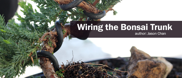 how to wire your bonsai tree trunk rh easternleaf com Bonsai Wiring Tips Japanese Bonsai Trees