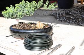 Fabulous How To Wire Your Bonsai Tree Trunk Wiring Digital Resources Timewpwclawcorpcom