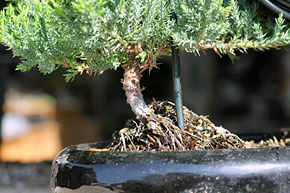 Phenomenal How To Wire Your Bonsai Tree Trunk Wiring 101 Mecadwellnesstrialsorg