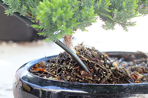 Superb How To Wire Your Bonsai Tree Trunk Wiring Digital Resources Timewpwclawcorpcom