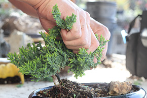 Groovy How To Wire Your Bonsai Tree Trunk Wiring Digital Resources Timewpwclawcorpcom
