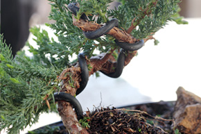 Peachy How To Wire Your Bonsai Tree Trunk Wiring 101 Mecadwellnesstrialsorg