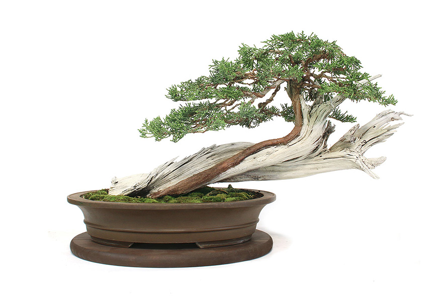 Jason Chan Bonsai Artist