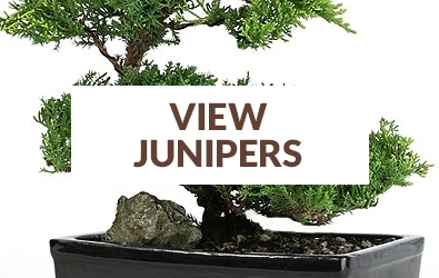 What Is The Best Beginner Bonsai Tree