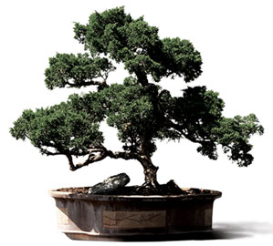 About Bonsai A Little Background On The Origins Of Bonsai Trees