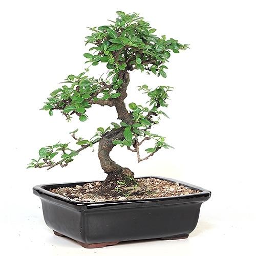 Bonsai Fujian Tea Bonsai Tree From Easternleaf Com Bonsai
